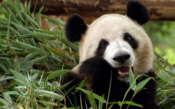 Papéis de Parede Panda bonito comer bambu, rosto, olhos