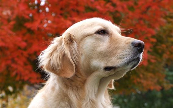 Papéis de Parede Cão, rosto, cabeça, fundo nebuloso