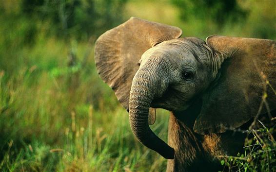 Papéis de Parede Bebê elefante, vida selvagem