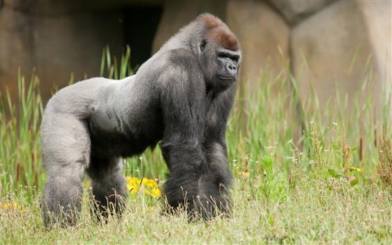 Wallpaper Gorilla, grass, wildlife