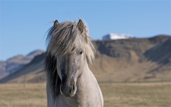 壁紙 灰色の馬、顔、たてがみ