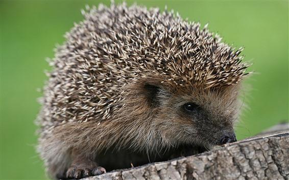 Wallpaper Hedgehog, stump