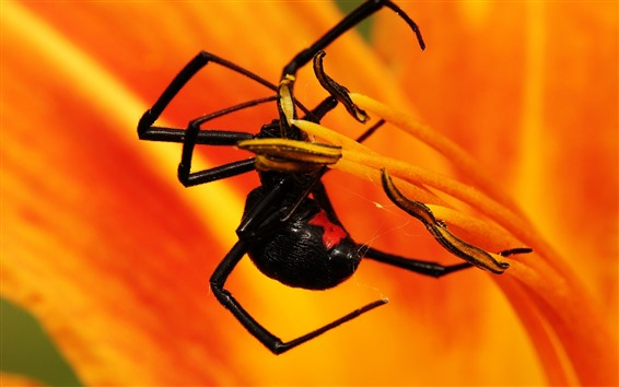 Wallpaper Insect, spider, orange flower, petals
