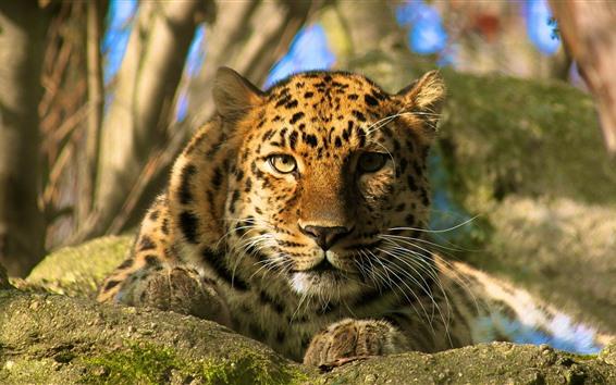 Wallpaper Leopard, rest, look, face, eyes, bokeh