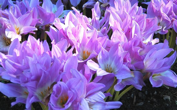 배경 화면 많은 분홍색 크 로커 스, 꽃잎