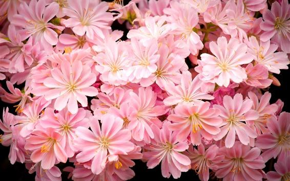 Fondos de pantalla Muchas flores rosadas, pétalos, brillantes
