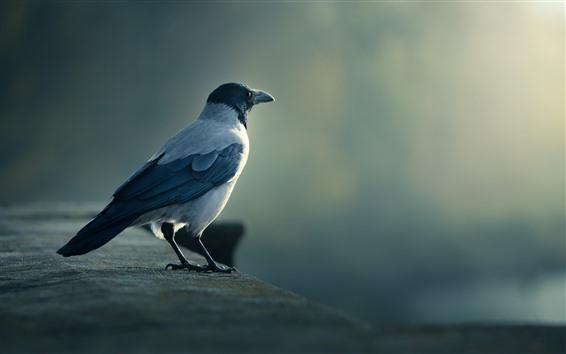Papéis de Parede Um pássaro, corvo, olha