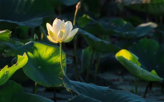 Wallpaper One white lotus, flower, green leaves, sunshine