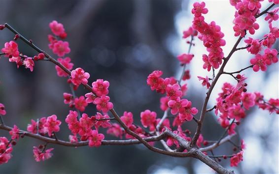 Wallpaper Pink plum flowers bloom, twigs, spring