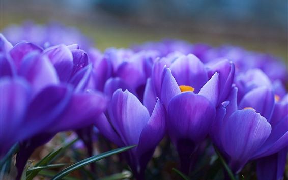 壁紙 紫のクロッカスマクロ写真、花びら