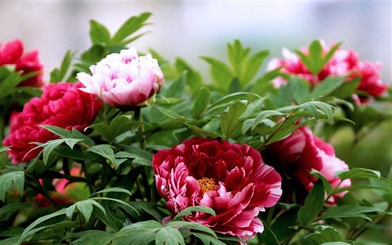 배경 화면 붉은 모란 꽃, 녹색 잎