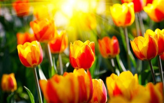 배경 화면 빨간색 노란색 꽃잎 튤립, 태양 광선, 섬광