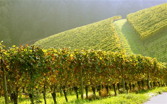 Wallpaper Vineyard, green, slope, sunshine