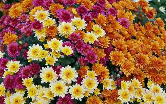 Papéis de Parede crisântemos laranja, amarelos, vermelhos, muitas flores