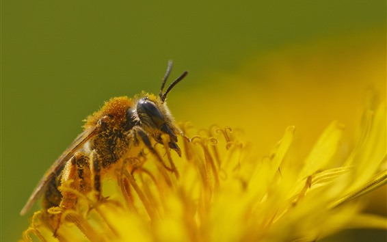 Fondos de pantalla Abeja, insecto, pétalos de flores amarillas