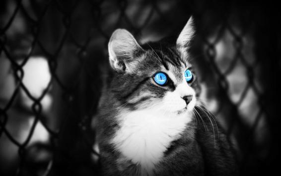 Fondos de pantalla Gato de ojos azules, fotografía en blanco y negro