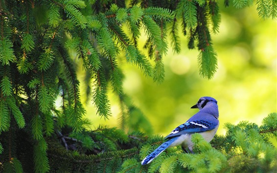 Wallpaper Blue feather bird, pine tree, green twigs