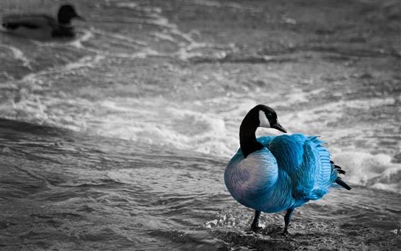 壁紙 青い羽のガチョウ、海
