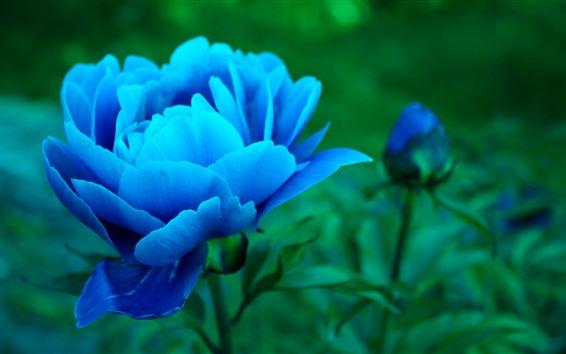 배경 화면 푸른 모란, 꽃