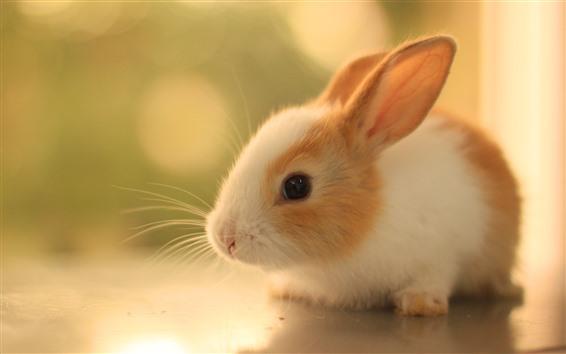 Обои Милый пушистый кролик, взгляд, домашнее животное
