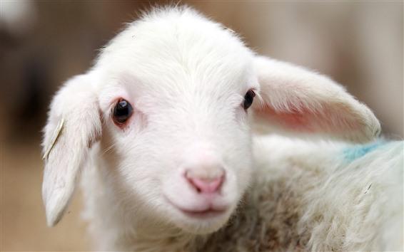 Wallpaper Cute white lambs, face, look