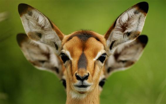 Обои Олень, морда, уши, дикая природа