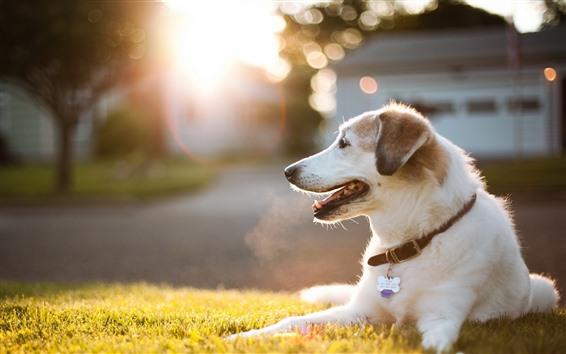 Обои Собака, отдых, луг, солнечный свет
