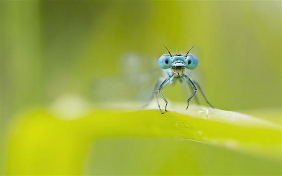 Fond d'écran Libellule, yeux bleus, feuille verte, brumeux