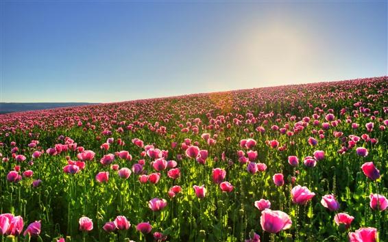 Papéis de Parede Muitas papoulas rosa, primavera, céu