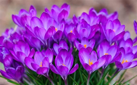 배경 화면 많은 보라색 크로커스 꽃, 꽃잎, 봄