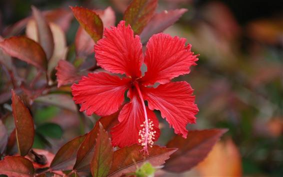 Papéis de Parede Um close-up de flor de hibisco vermelho, pétalas