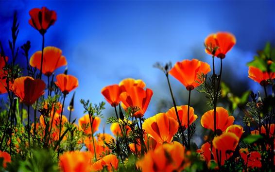 Fond d'écran Champ de fleurs de pavot orange, brumeux