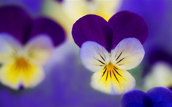 Papéis de Parede Pansies macro fotografia, pétalas, flores