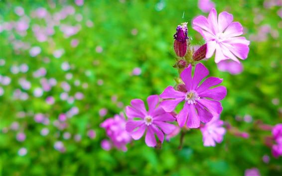Fondos de pantalla Primer plano de flor rosa, pétalos, fondo verde brumoso