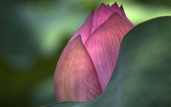 Wallpaper Pink lotus bud macro photography