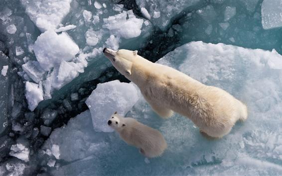 Papéis de Parede Ursos polares, gelo, mar, vista superior