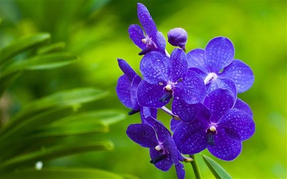 Wallpaper Purple phalaenopsis, green background