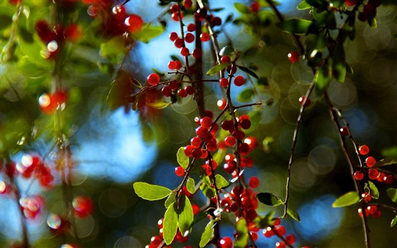 桌布 紅色漿果,樹枝,朦朧