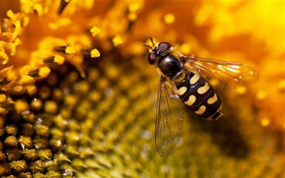 Hintergrundbilder Sonnenblumen-Makrofotografie, Biene, Insekt
