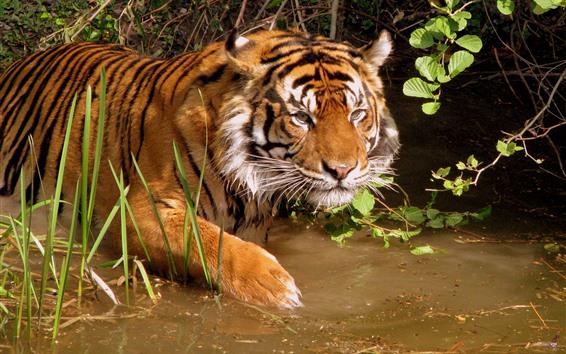 桌布 老虎,水,野生動物