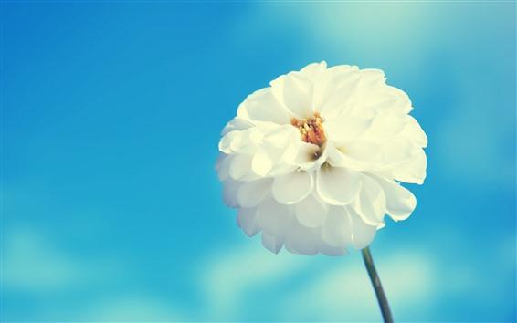 Wallpaper White flower, dahlia, blue sky