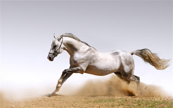 Обои Белая лошадь, свобода, бег