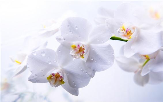 Papéis de Parede Phalaenopsis branca, gotículas de água, pétalas