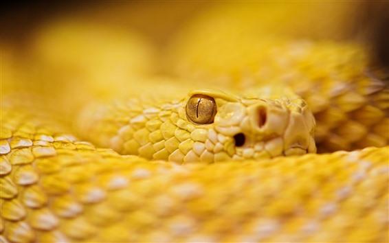 Wallpaper Yellow rattlesnake, eye, look