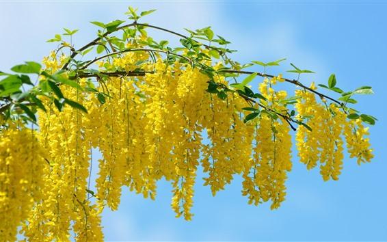 Fond d'écran Acacia de nombreuses fleurs jaunes