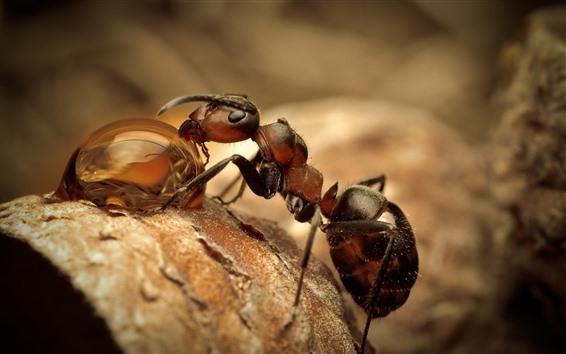 壁紙 アリは露、水滴、昆虫のマクロ写真を食べる