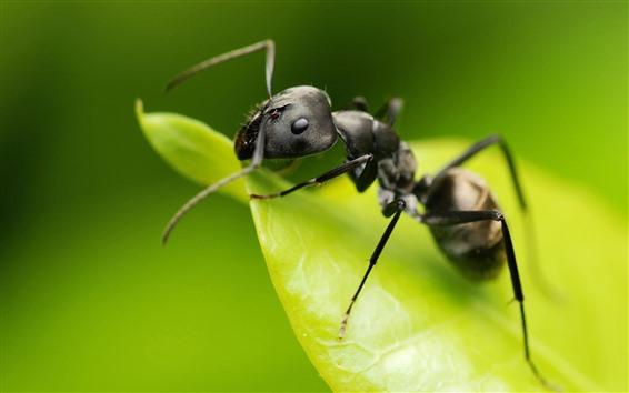 Fond d'écran Macrophotographie de fourmis, insecte, feuille verte