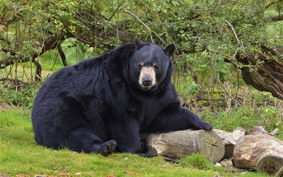 Wallpaper Black bear, wood