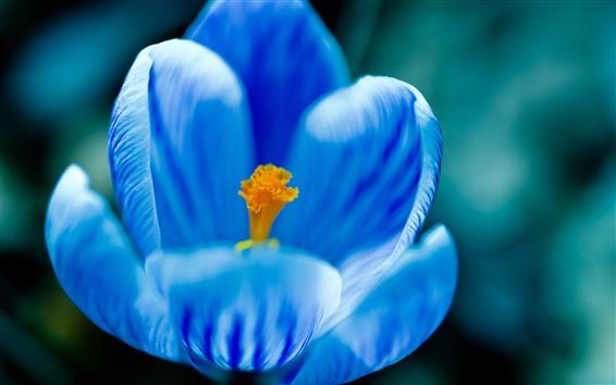 Papéis de Parede Macro fotografia de flores azuis, pétalas