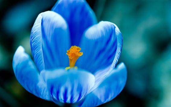 Обои Макросъемка голубого цветка, лепестки